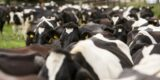 Closeup of a herd of dairy cattle.