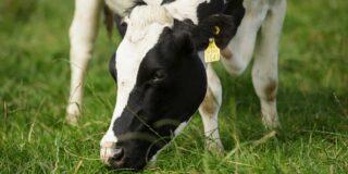 Closeup of a cow grazing in a field.