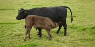 Calf feeding from mother in a field.