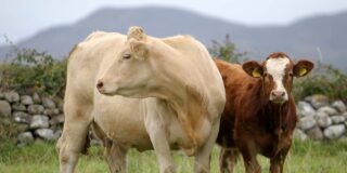Cow and Simmental Calf