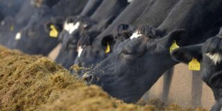 Cows eating at feed barrier