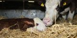 Newborn beef calf with its mother