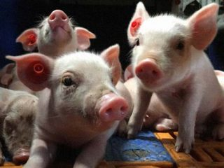 Pigs Biosecurity Review